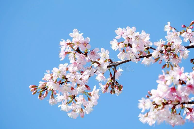 蓝天背景的可爱的淡粉红的佐仓 免版税库存图片