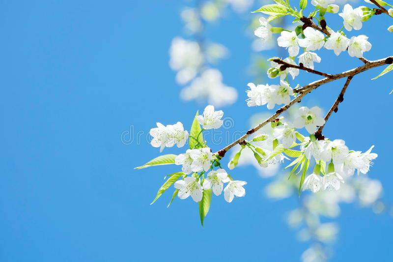 蓝天背景的可爱的纯净的白色佐仓 库存图片