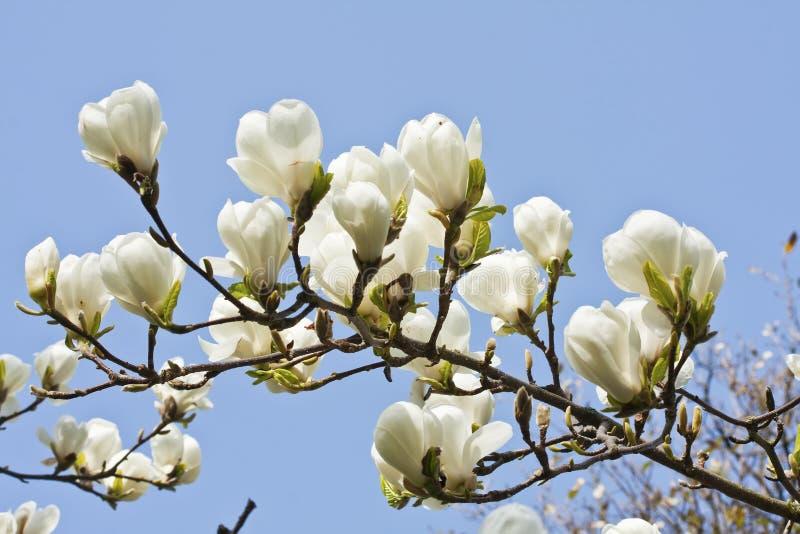 蓝天背景的木兰花 图库摄影