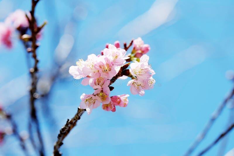 蓝天背景的浅粉红色的佐仓 免版税库存照片
