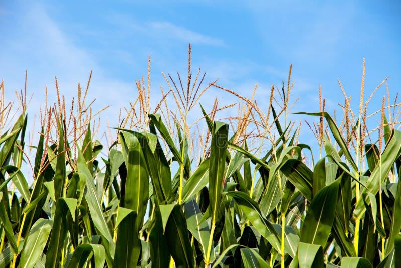 蓝天背景的甜玉米植物 免版税库存图片