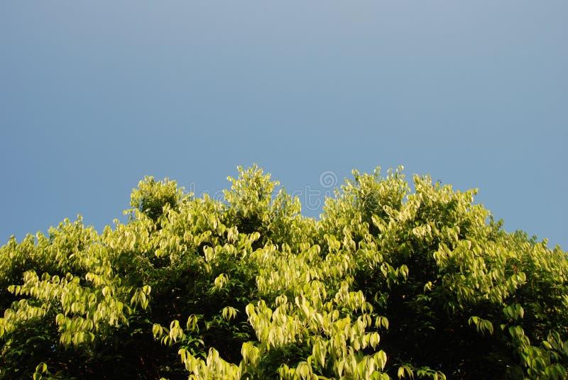 蓝天顶层结构树 免版税库存照片