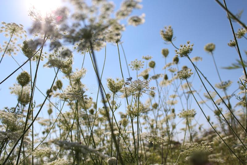 蓝天 反对天空的植物 背景设计例证夏天星期日白色 植物开花 夏天心情 免版税库存图片