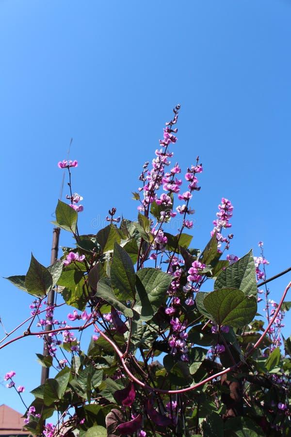蓝天 反对天空的淡紫色花 wattling的植物 美丽的花 在村庄 免版税图库摄影