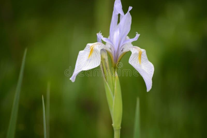 蓝旗信号在斯诺伊范围山的虹膜野花,怀俄明 免版税库存图片