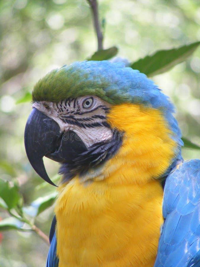 蓝点颏金刚鹦鹉 免版税库存图片