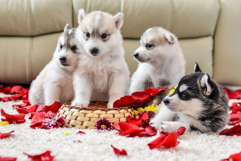 蓝眼睛多壳的小狗西伯利亚人 库存图片