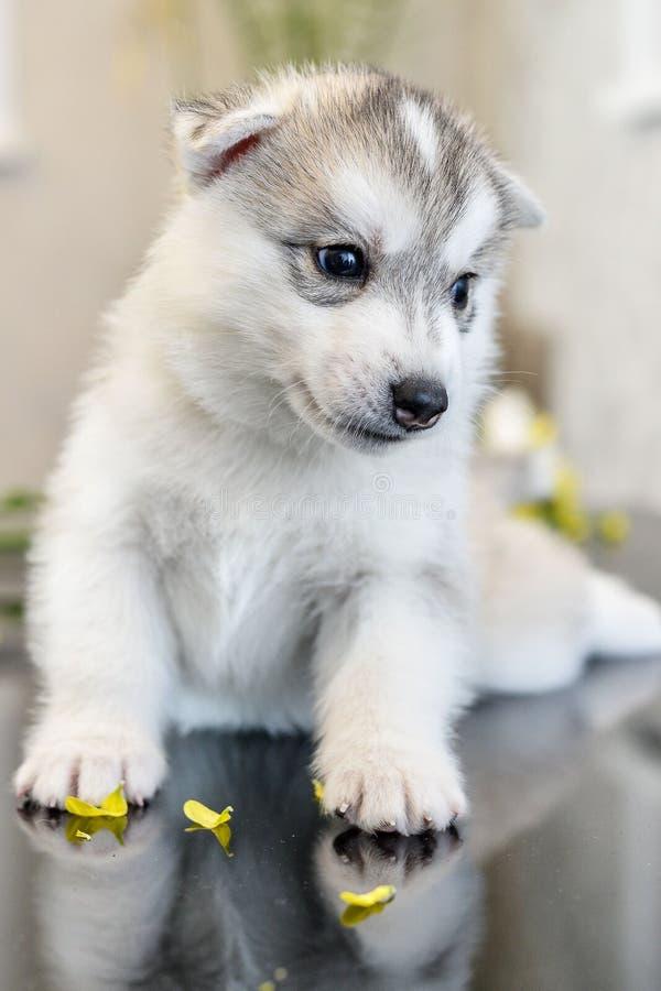 蓝眼睛多壳的小狗西伯利亚人. 敬慕, 晚上.图片
