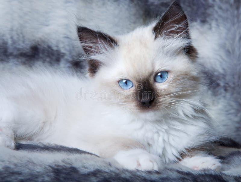 蓝眼睛的小猫 免版税库存图片