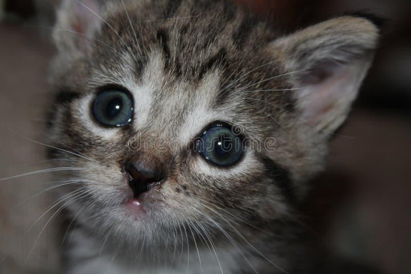 蓝眼睛的小猫 图库摄影