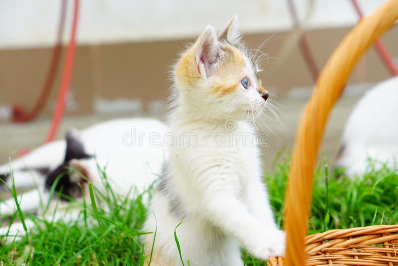 蓝眼睛的敏锐小猫在自然环境里 库存图片