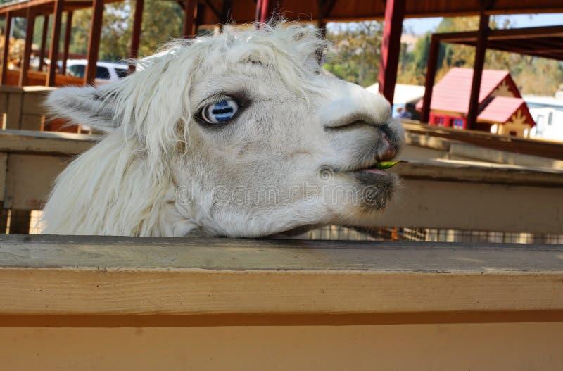 蓝眼睛的骆马 免版税库存图片