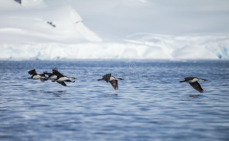 蓝眼睛的鸬鹚在南极洲 免版税库存照片