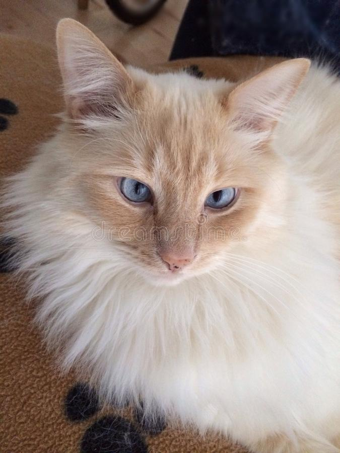 蓝眼睛的Ragdoll猫 免版税库存图片