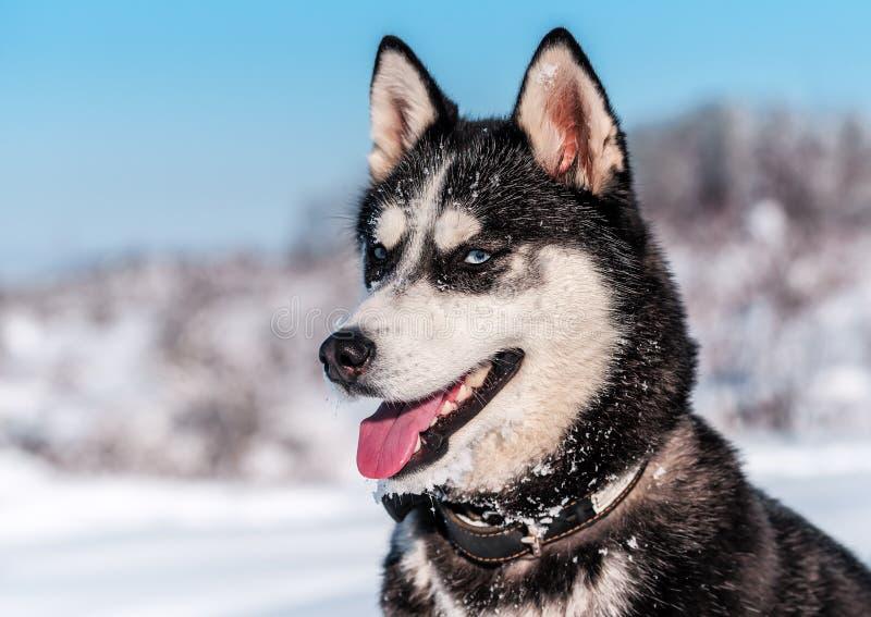 蓝眼睛西伯利亚爱斯基摩人在冬天图片