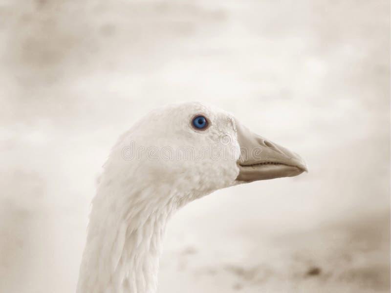 蓝眼睛鹅 免版税库存照片
