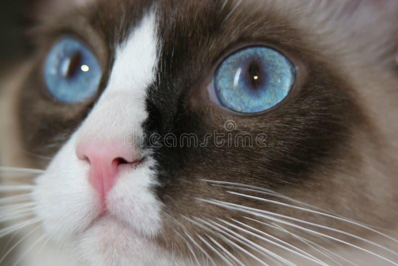 Download 蓝眼睛 库存照片. 图片 包括有 感激的, 眼睛, 似猫, 全部赌注, 室内, 毛皮, 毛茸, 表面, 针对性 - 189708