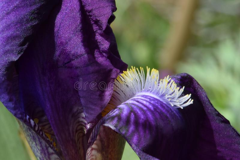 蓝紫色有胡子的虹膜02 图库摄影