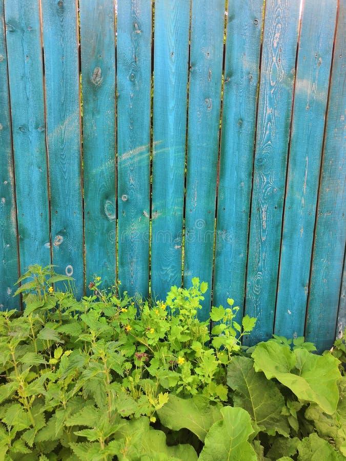 蓝色与常春藤树-与攀登绿色常春藤植物的被绘的老木门面的蓝绿色木背景 免版税库存照片