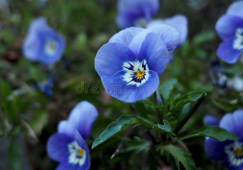 蓝色中提琴或蝴蝶花在绽放 免版税库存照片