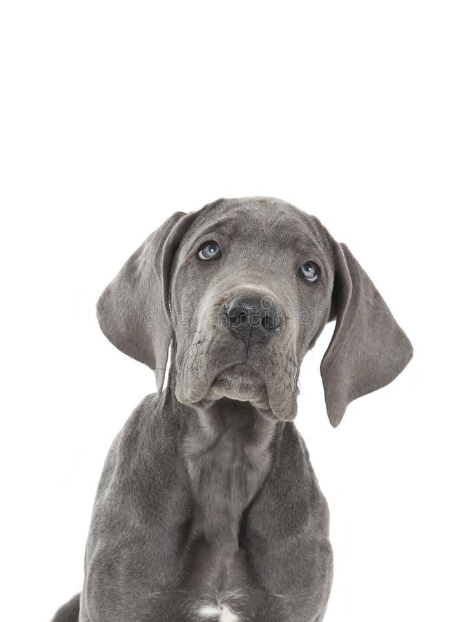 蓝色丹麦人极大的小狗 免版税库存照片