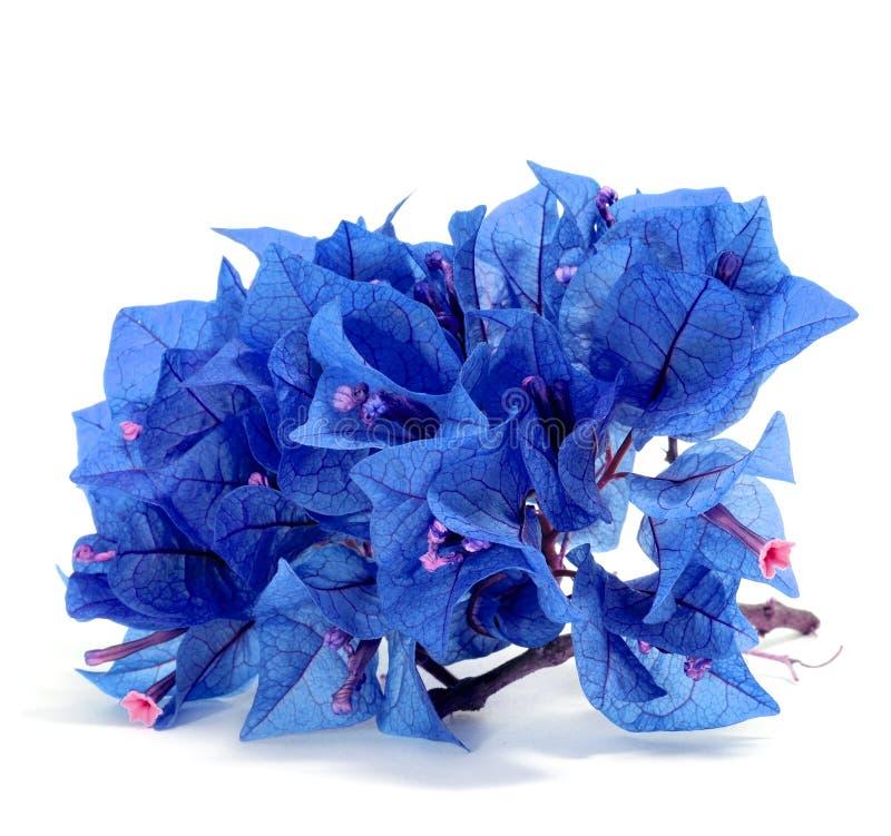 Download 蓝色九重葛 库存照片. 图片 包括有 装饰品, 颜色, 自然, 春天, 空白, 庭院, 华伦泰, 蓝色, 自治权 - 22353468