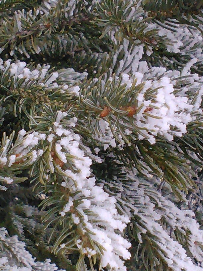 蓝色云杉在冬天 图库摄影