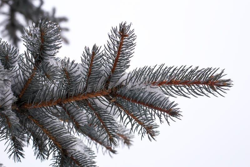 蓝色云杉或杉木分支  针用霜和水滴盖 库存照片