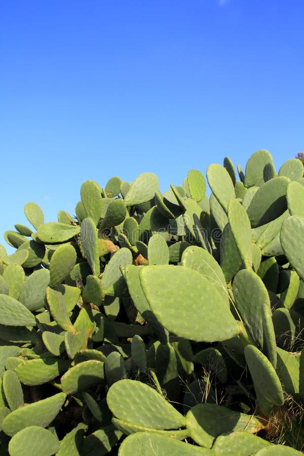 蓝色仙人掌chumbera胭脂仙人掌工厂天空 库存照片
