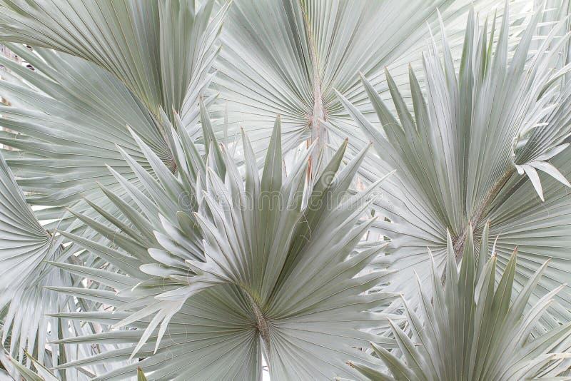蓝色俾斯麦棕榈树背景 免版税图库摄影