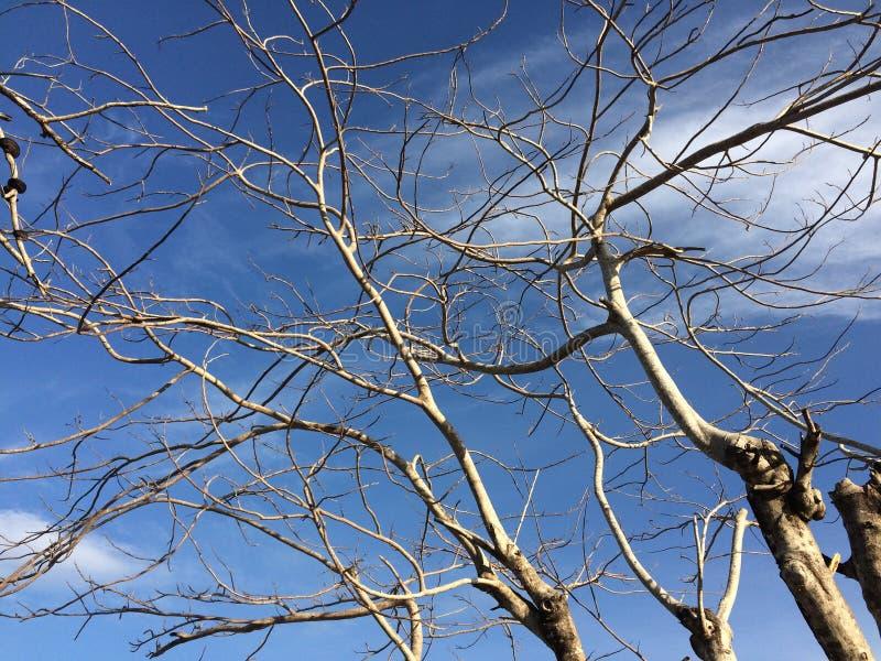 蓝色停止的天空结构树 免版税库存照片