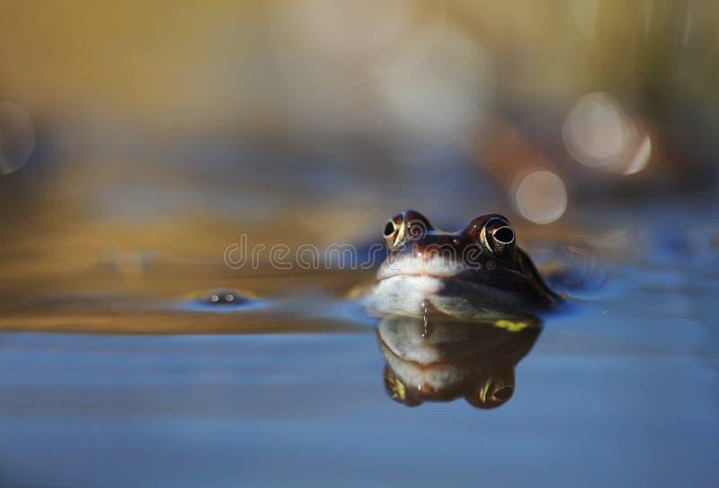 蓝色停泊青蛙 库存照片