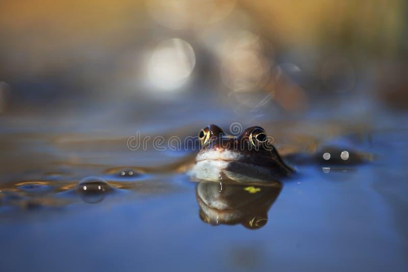 蓝色停泊青蛙 免版税库存照片