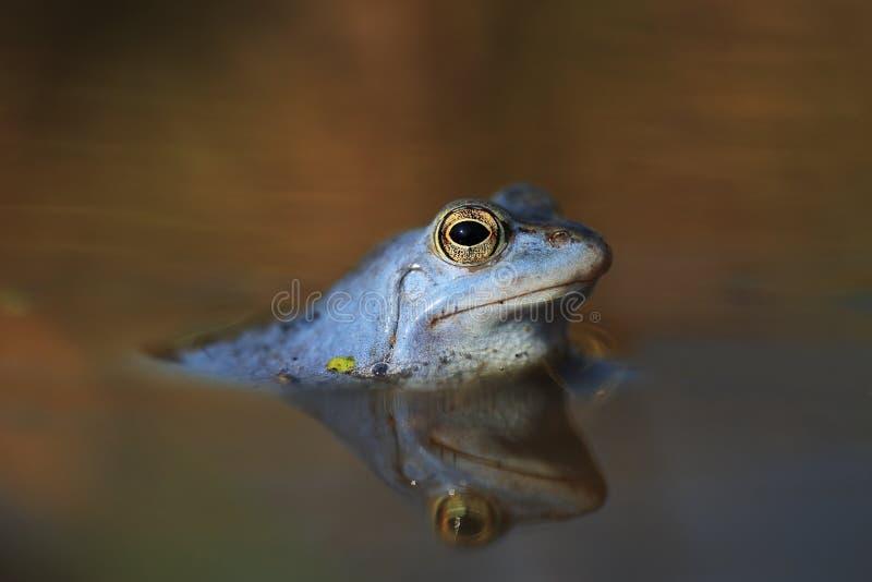 蓝色停泊青蛙 免版税图库摄影