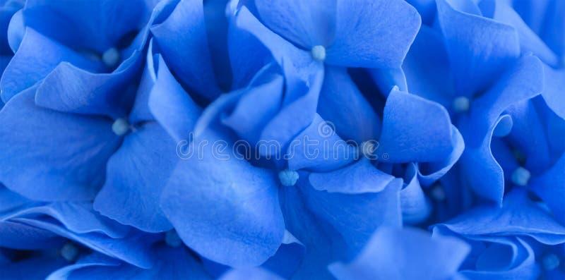 蓝色八仙花属背景 霍滕西亚开花表面 宏观照片 免版税库存照片