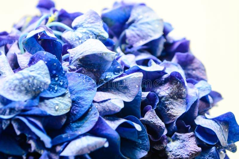 蓝色八仙花属花。 免版税库存图片