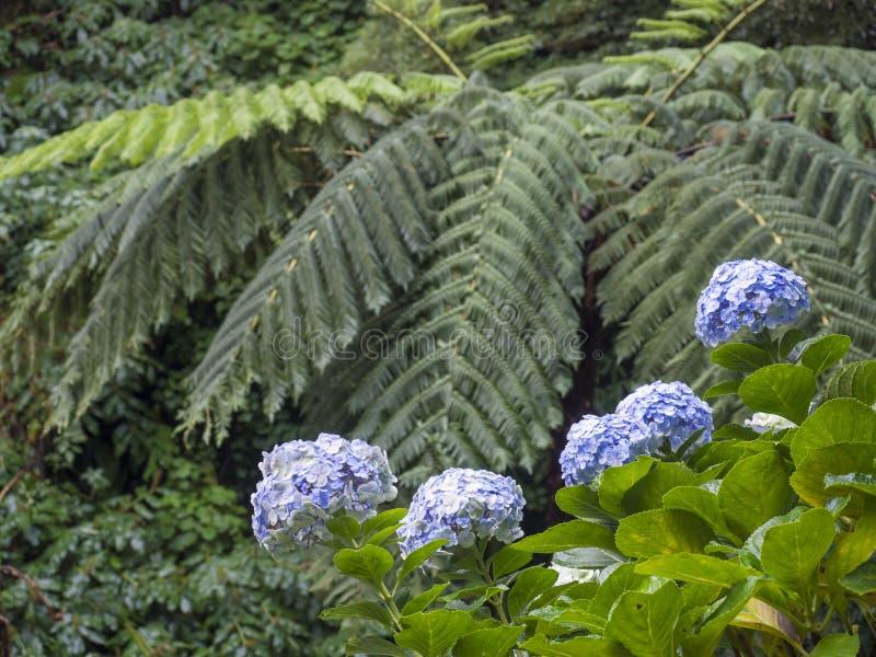 蓝色八仙花属花和富有的绿色雨林植被的关闭与在圣地米格尔的树蕨Dicksonia南极洲 免版税库存照片