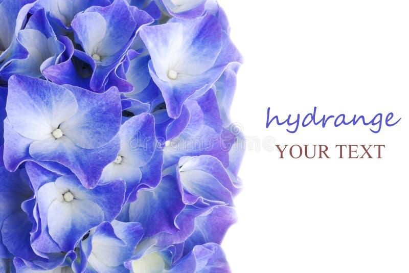 蓝色八仙花属花 免版税图库摄影