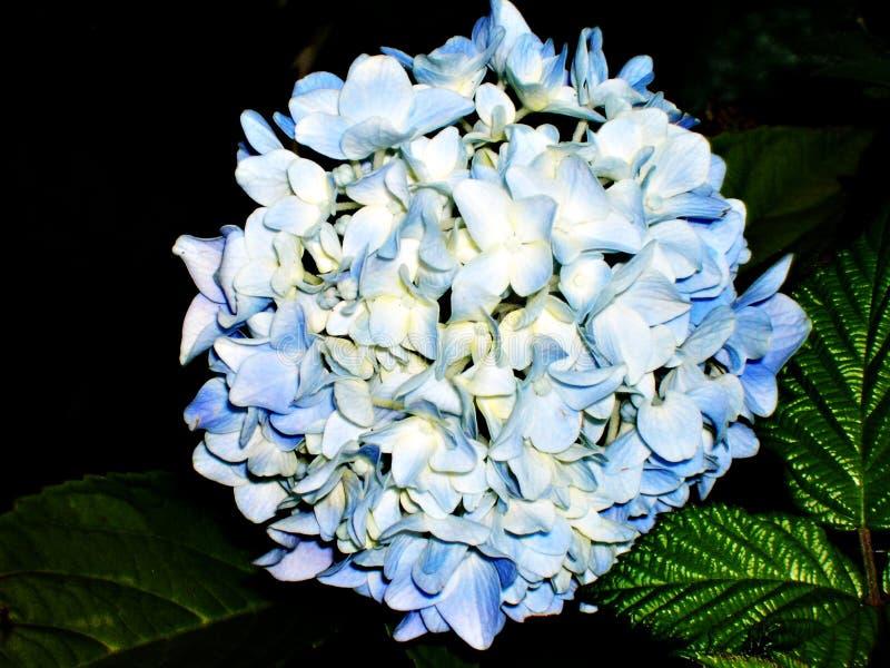 蓝色八仙花属Flowes群 库存图片
