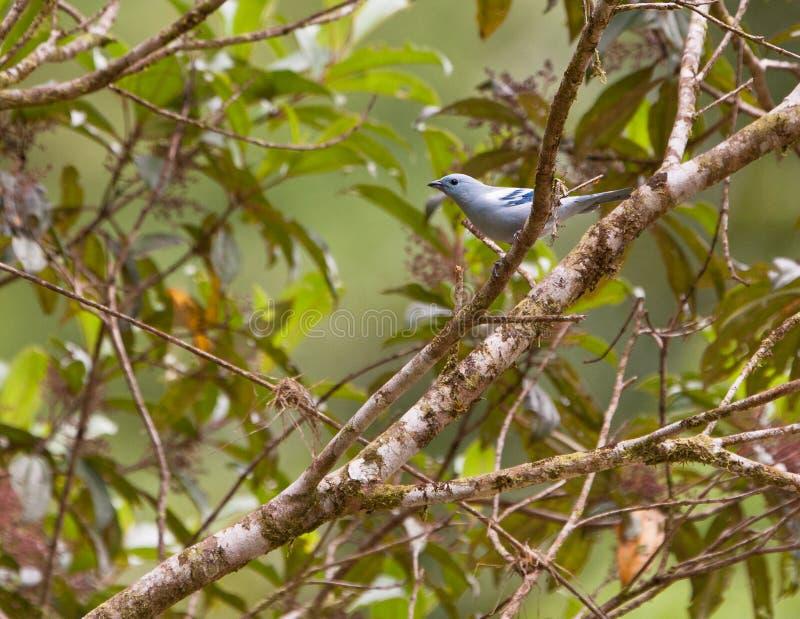 蓝色典雅的灰色唐纳雀 库存图片