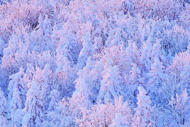 蓝色冬天风景、桦树森林有雪的,冰和霜 在日出前的桃红色早晨光 冬天微明,冷的自然 免版税库存照片