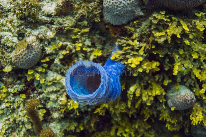 蓝色分支的花瓶海绵 免版税图库摄影
