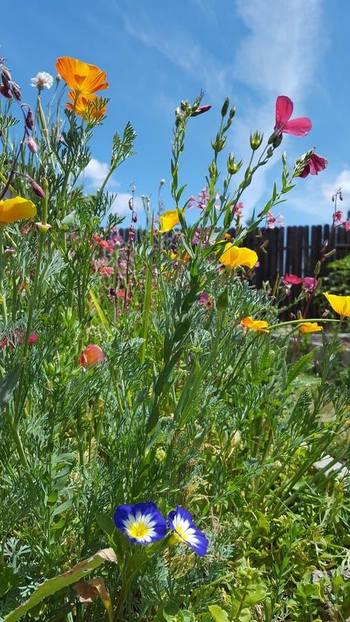 蓝色加利福尼亚天空野花庭院 图库摄影