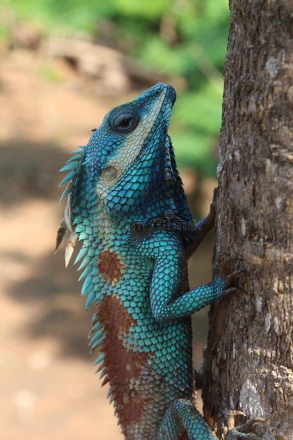 蓝色变色蜥蜴 库存图片