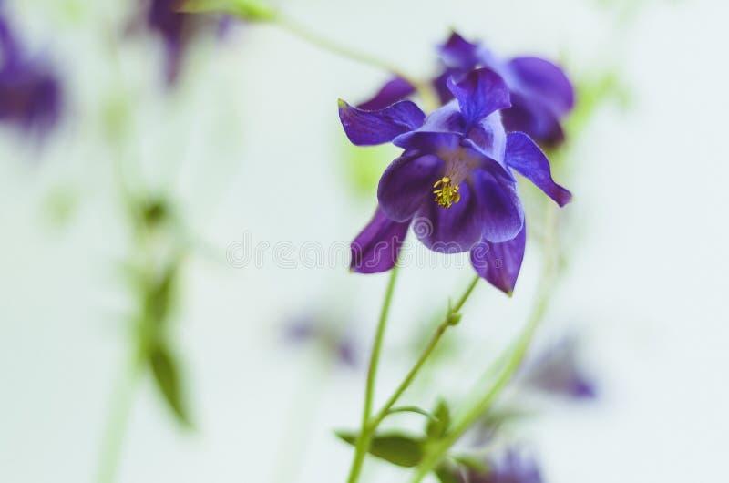 蓝色吊钟花,绽放作为在白色背景隔绝的宏观射击,狭窄的景深 免版税库存图片