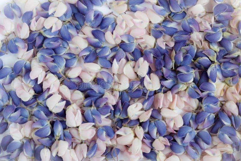 蓝色和桃红色羽扇豆的花瓣 免版税库存图片