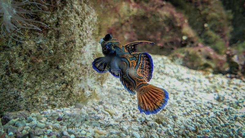 蓝色和桔黄色鱼游泳 免版税库存照片