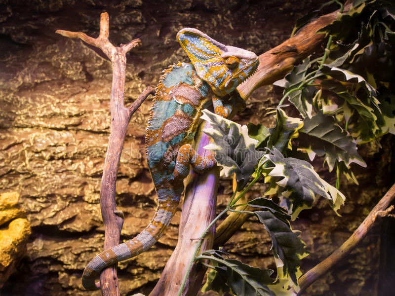 蓝色和棕色变色蜥蜴 免版税图库摄影