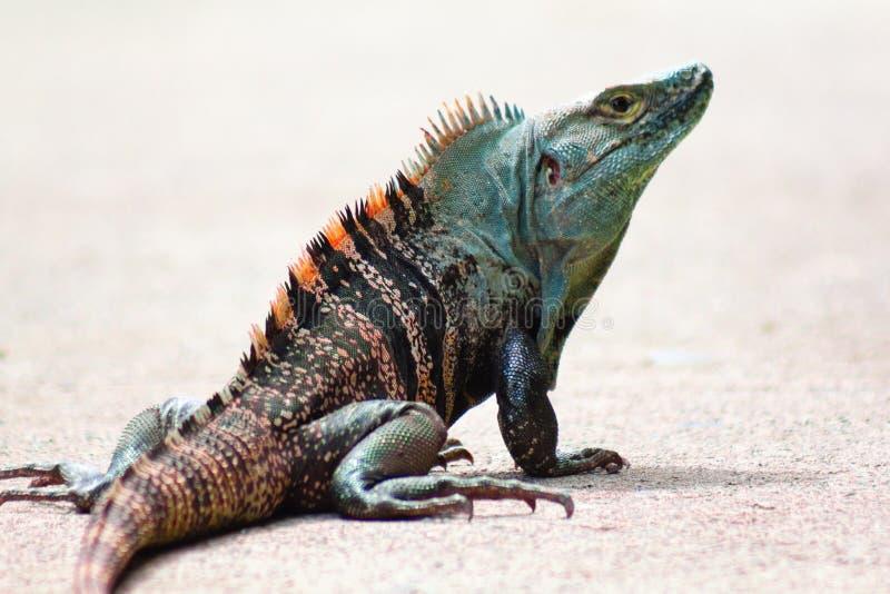 蓝色和橙色有顶饰哥斯达黎加的鬣鳞蜥 免版税库存照片