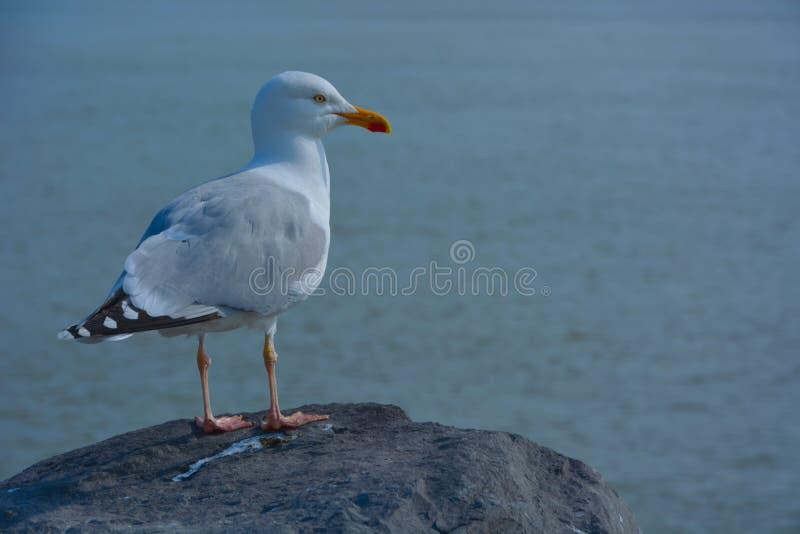 蓝色和灰色有斑点的海鸥 库存图片
